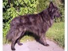 Holländischer Schäferhund